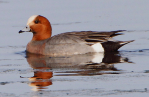 Eurasian Wigeon - Allen Smith