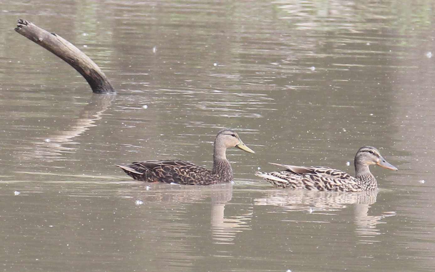 Mottled Duck - Timothy Jones