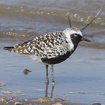 Black-bellied Plover photo by Al Smith