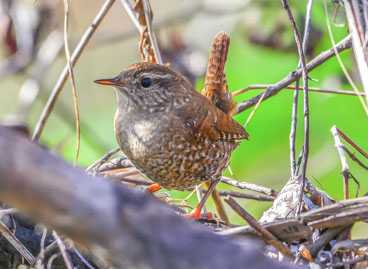 Winter Wren photo by James Gorski