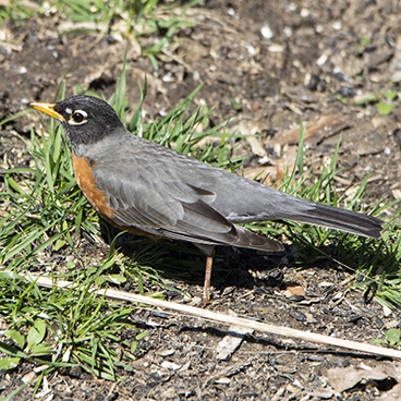 American Robin photo by Peter Kondrashov