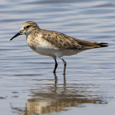 Baird's Sandpiper photo by Peter Kondrashov