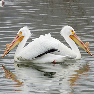 American White Pelican photo by Peter Kondrashov