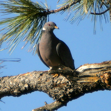 Band-tailed Pigeon photo by Peter Kondrashov