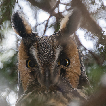 Long-eared Owl photo by Peter Kondrashov