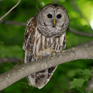 Barred Owl photo by Randy Korotev