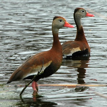 Black-bellied Whistling-Duck photo by Randy Korotev