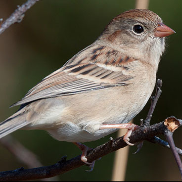 Field Sparrow photo by Peter Kondrashov