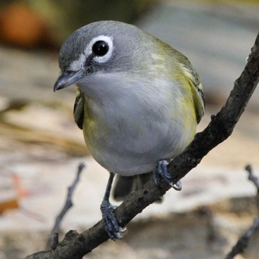 Blue-headed Vireo photo by Randy Korotev