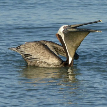 Brown Pelican photo by Randy Korotev