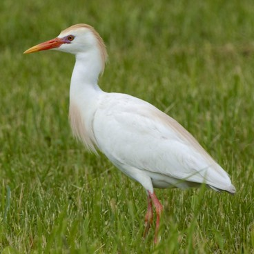 Cattle Egret photo by Randy Korotev