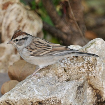Chipping Sparrow photo by Randy Korotev