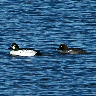 Common Goldeneye photo by Randy Korotev