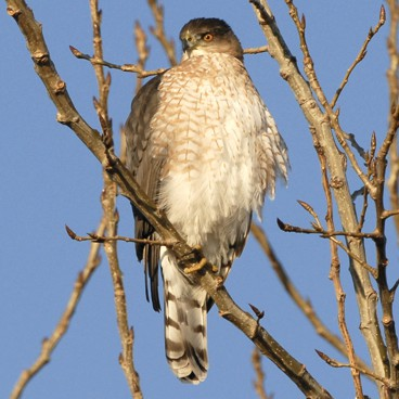 Cooper's Hawk photo by Randy Korotev