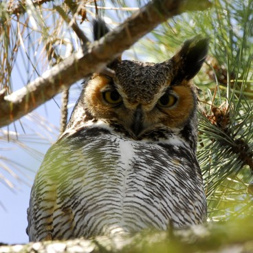 Great Horned Owl photo by Randy Korotev