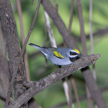 Golden-winged Warbler photo by Al Smith