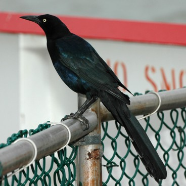 Great-tailed Grackle photo by Randy Korotev