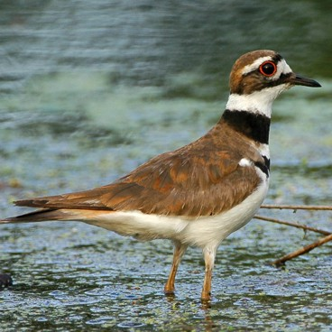 Killdeer photo by Randy Korotev