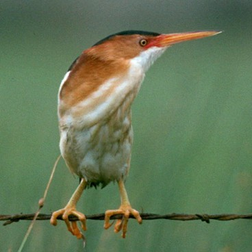 Least Bittern photo by Randy Korotev