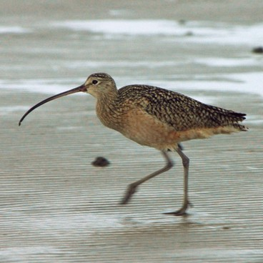 Long-billed Curlew photo by Randy Korotev