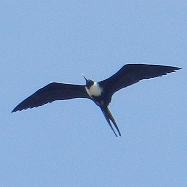 Magnificent Frigatebird photo by Randy Korotev