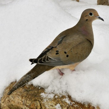 Mourning Dove photo by Randy Korotev