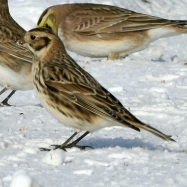 Lapland Longspur photo by Randy Korotev