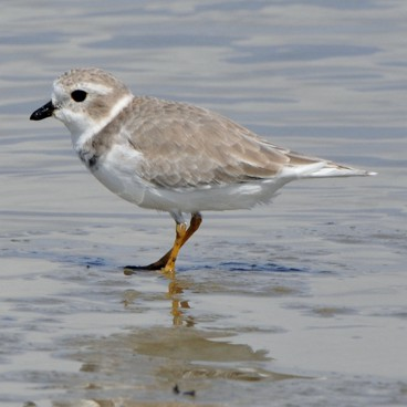 Piping Plover photo by Randy Korotev
