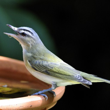 Red-eyed Vireo photo by Randy Korotev