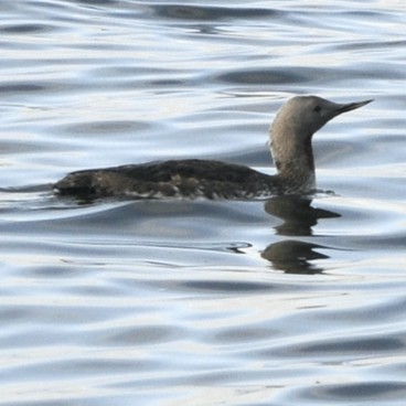 Red-throated Loon photo by Randy Korotev