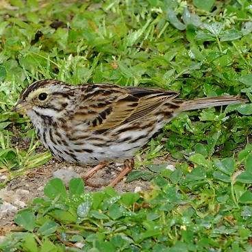 Savannah Sparrow photo by Randy Korotev