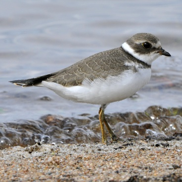 Semipalmated Plover photo by Randy Korotev