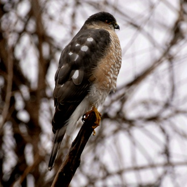 Sharp-shinned Hawk photo by Randy Korotev