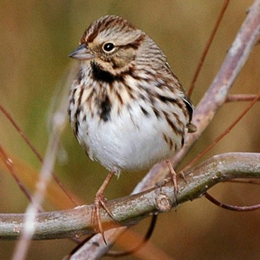 Song Sparrow photo by Randy Korotev