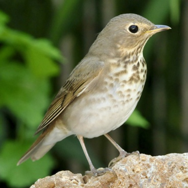 Swainson's Thrush photo by Randy Korotev