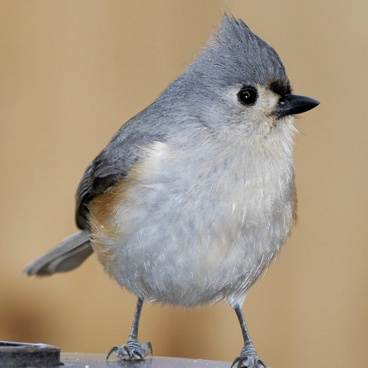 Tufted Titmouse photo by Randy Korotev