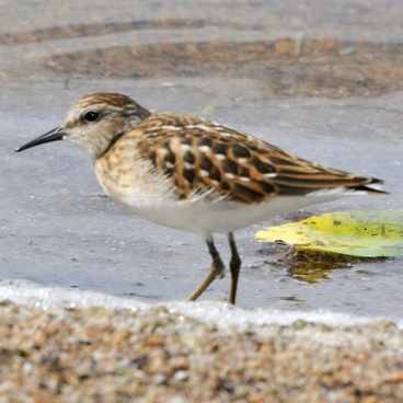 Least Sandpiper photo by Randy Korotev
