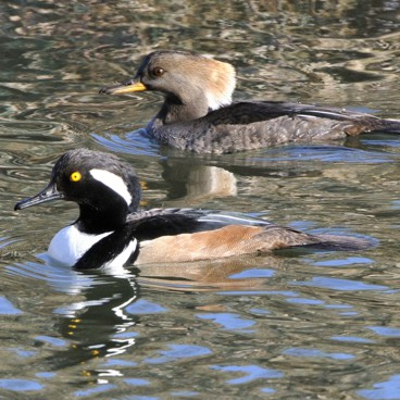 Hooded Merganser photo by Randy Korotev