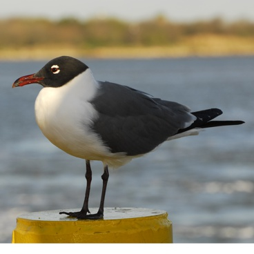 Laughing Gull photo by Randy Korotev