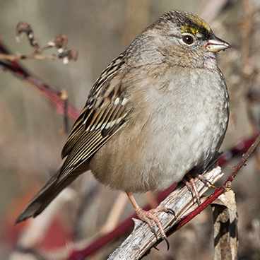 Golden-crowned Sparrow photo by Peter Kondrashov