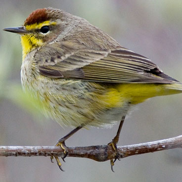 Palm Warbler photo by Peter Kondrashov