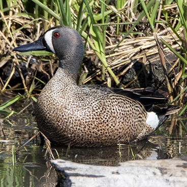 Blue-winged Teal photo by Peter Kondrashov