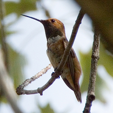 Rufous Hummingbird photo by Peter Kondrashov