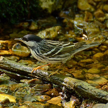 Blackpoll Warbler photo by Margy Terpstra