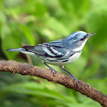 Cerulean Warbler photo by Margy Terpstra