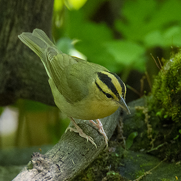 Worm-eating Warbler photo by Margy Terpstra