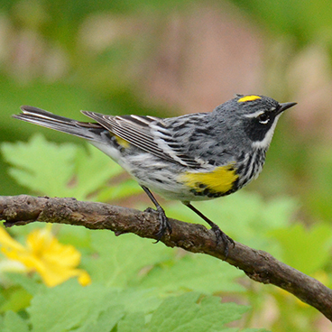 Yellow-rumped Warbler photo by Margy Terpstra