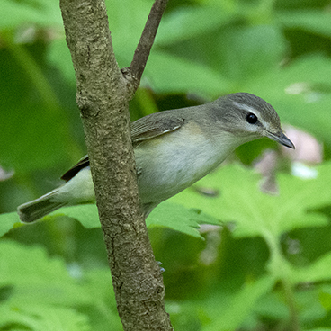Warbling Vireo photo by Margy Terpstra