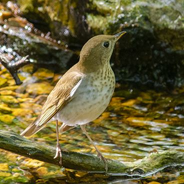 Veery photo by Margy Terpstra