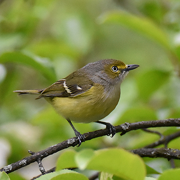 White-eyed Vireo photo by Margy Terpstra